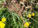 Herbs to Cleanse the Blood Dandelion Root