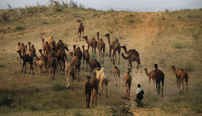 Annual Cattle Fair in Pushkar