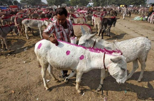A trader marks his donkey with paint during an annual donkey fair at Vautha