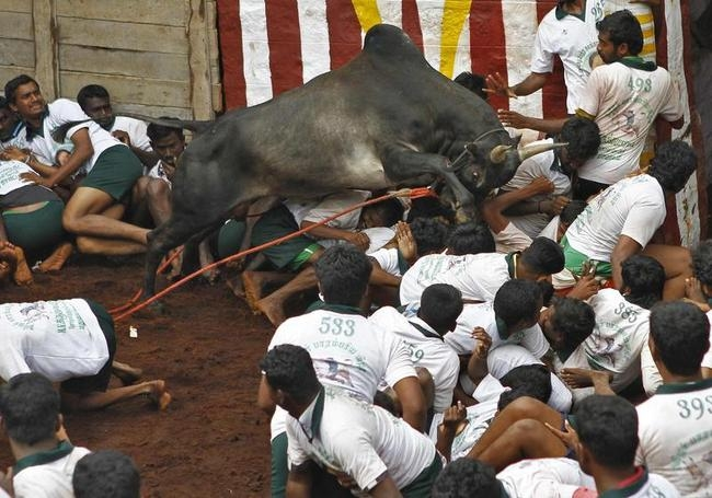 A bull jumps over villagers during a bull-taming festival on the outskirts of Madurai town