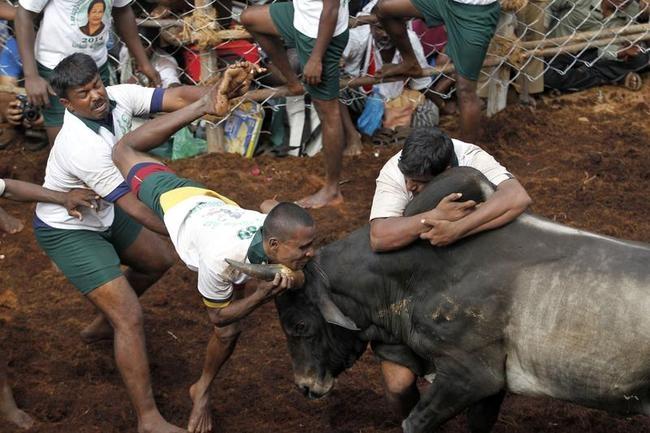 Dangerous Bull-Taming Sport: Jallikattu