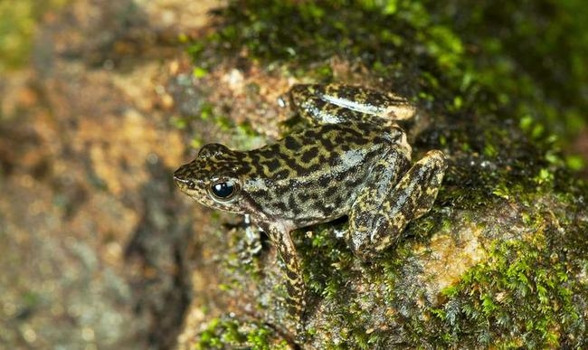 Dancing Frogs Discovered in India!